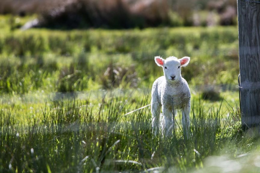lamb in field easter